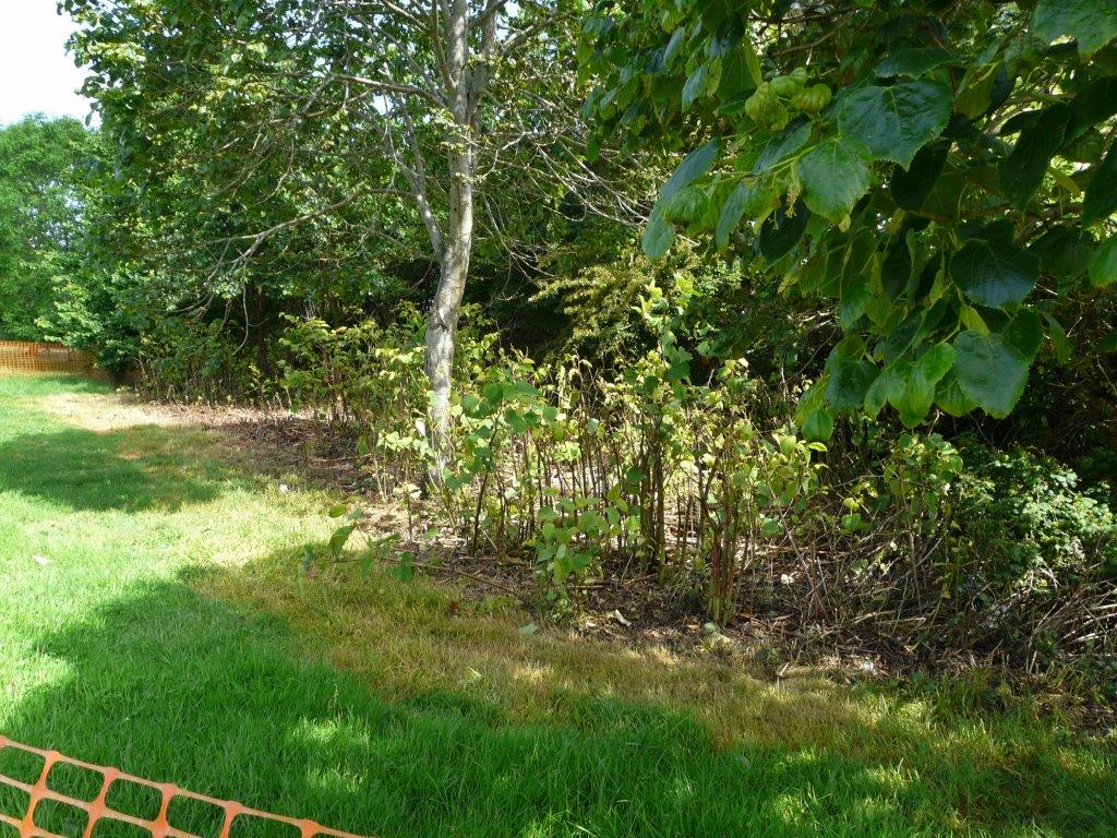 """alt=""""the japanese knotweed in 2014"""""""