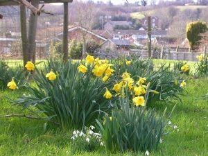 """alt="""" Spring Daffodils in Bradpole """""""