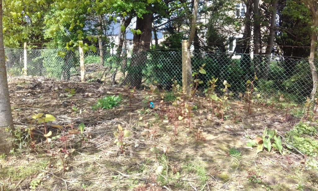"""alt=""""the japanese knotweed in May 2018"""""""