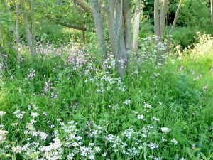 wildflowers along the River Asker