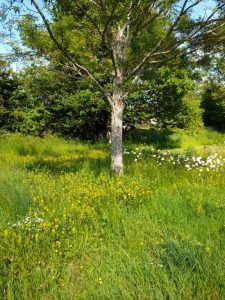 """alt="""" Yellow Rattle planted by the Buzz team"""""""